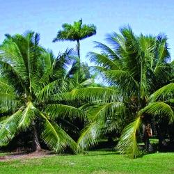 Plots in Mangaon:Coconut Trees